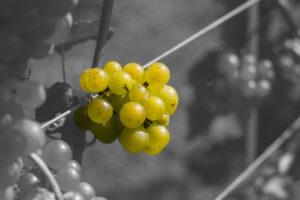 Wspólne winobranie